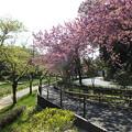 桜_公園 F4926