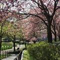 桜_公園 F4927