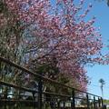 桜_公園 F4933