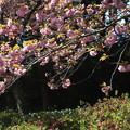 桜_公園 F4931