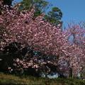 桜_公園 F4929