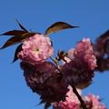 桜_公園 D8105