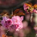 桜_公園 D8106