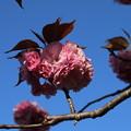 桜_公園 D8108