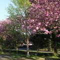桜_公園 D8111