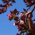 桜_公園 D8110
