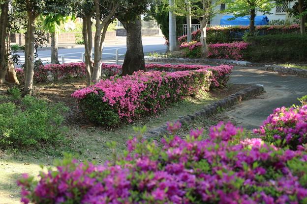 サツキ_公園 D8252
