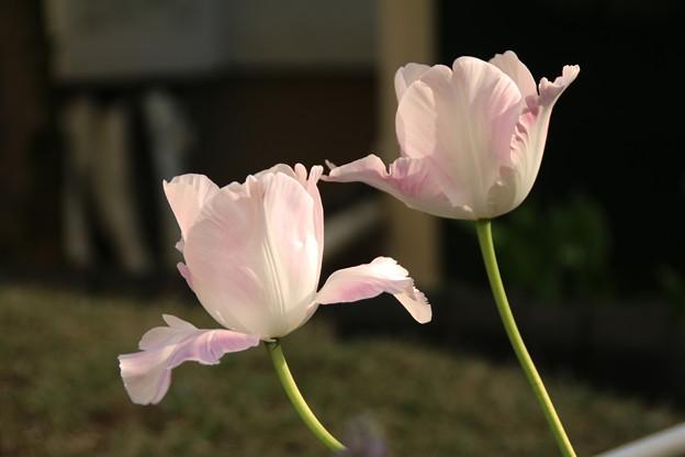 チューリップ_花壇 D8238