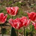 チューリップ_植物園 D8330