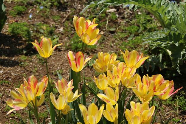 チューリップ_植物園 D8331