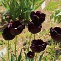 チューリップ_植物園 D8332