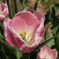 チューリップ_植物園 D8334