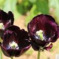 チューリップ_植物園 D8333