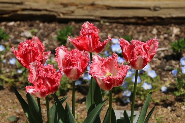 チューリップ_植物園 D8335