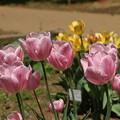 チューリップ_植物園 D8336