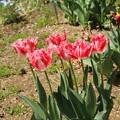 チューリップ_植物園 D8337
