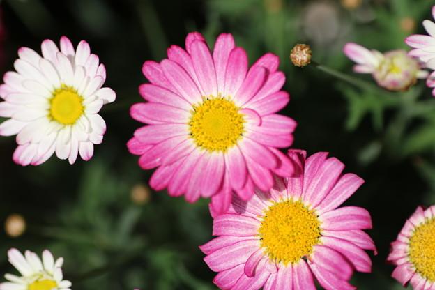 花壇の花 D8433