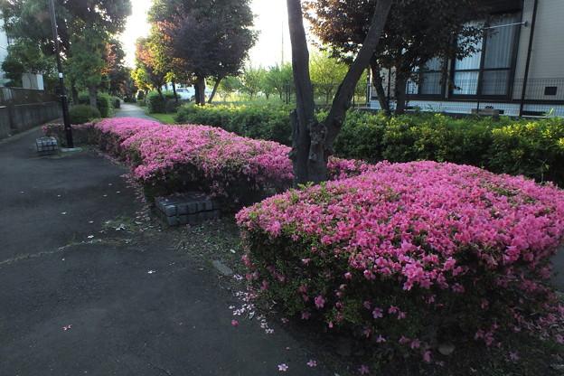 サツキ_散歩道 F5033