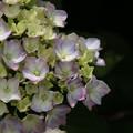 紫陽花_公園 D8537