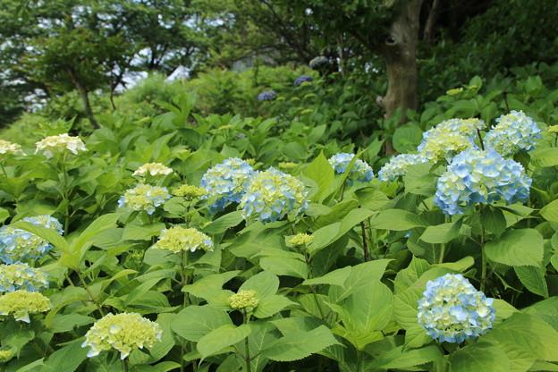Photos: 紫陽花_公園 D8578