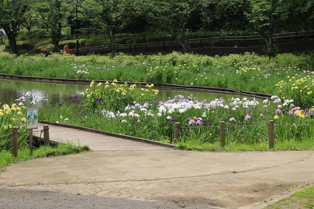 Photos: ハナショウブ_公園 D8583