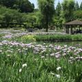 Photos: ハナショウブ_公園 D8587