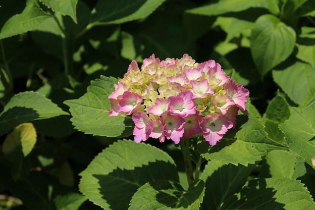 紫陽花_公園 D8603