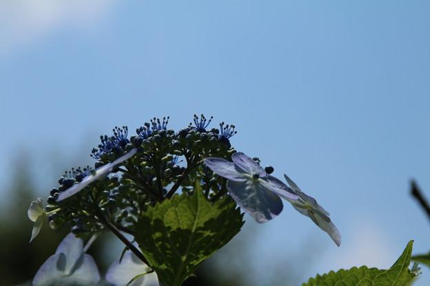 紫陽花_公園 D8608