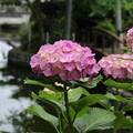紫陽花_西福寺 D8689