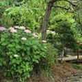 紫陽花_西福寺 D8684