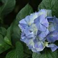 紫陽花_下妻 D8709