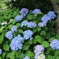 紫陽花_下妻 D8716