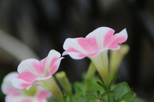 花壇の花 D8743