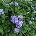 紫陽花_下妻 D8722