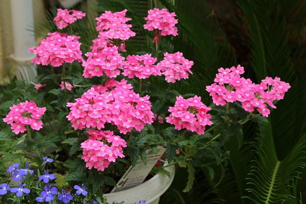 花壇の花 D8750