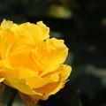 バラ_花壇 D8767
