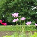Photos: コスモス_公園 D8810