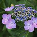 紫陽花_公園 D8821