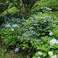 紫陽花_公園 D8832