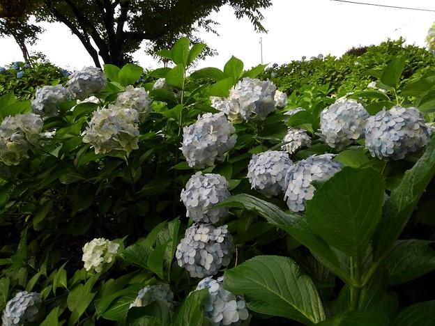Photos: 紫陽花_公園 K560