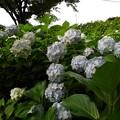 紫陽花_公園 K560