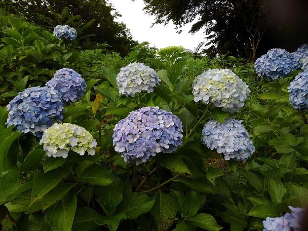 Photos: 紫陽花_公園 K562