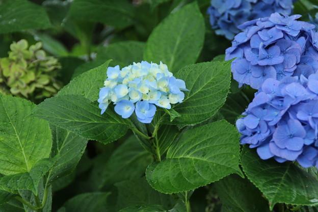 Photos: 紫陽花_公園 D8855