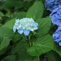 紫陽花_公園 D8855