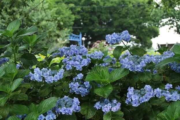Photos: 紫陽花_公園 D8854