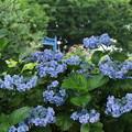 紫陽花_公園 D8854