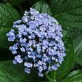 紫陽花_公園 D8865
