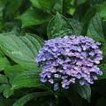 紫陽花_公園 D8868