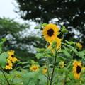Photos: ヒメヒマワリ_公園 D8860