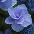 紫陽花_公園 D8858